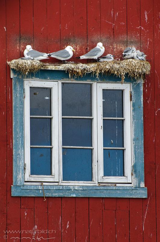 Dreizehenmöwe Skandinavien Fenster