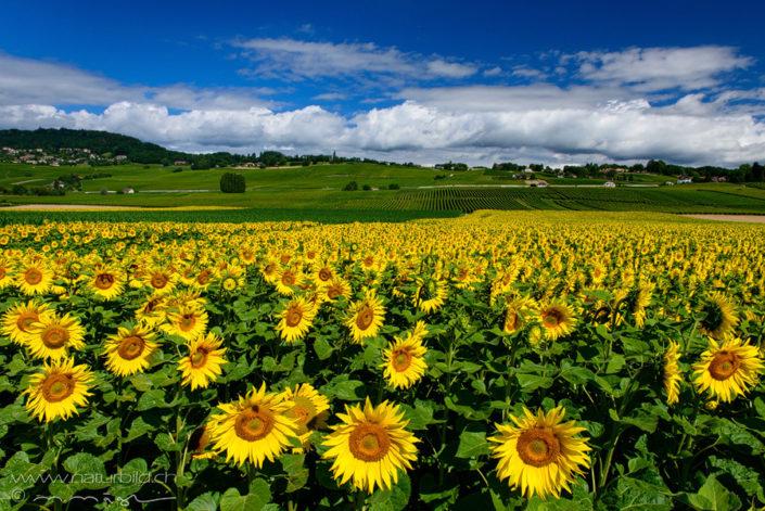 Waadt Aubonne Sonnenblumen