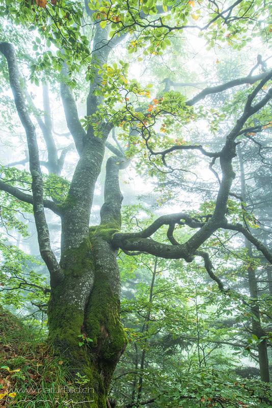 Baum Buche Nebel