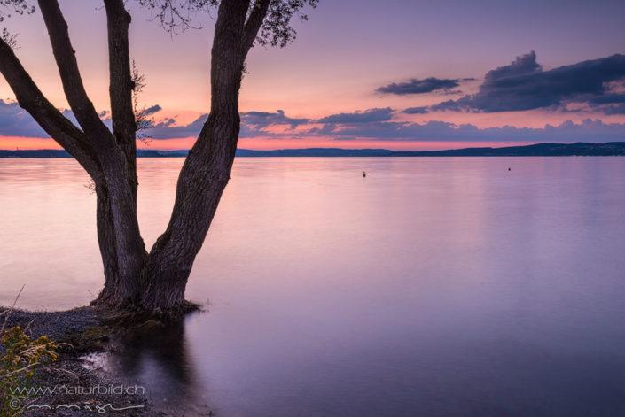 Bodensee Abendstimmung Baum