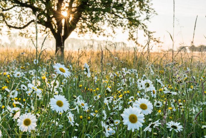 Margeriten Frühling Wiese