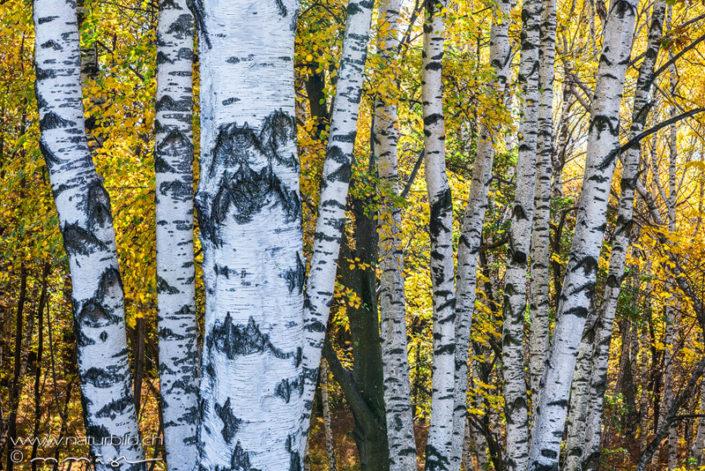 Tessin Wald Birken
