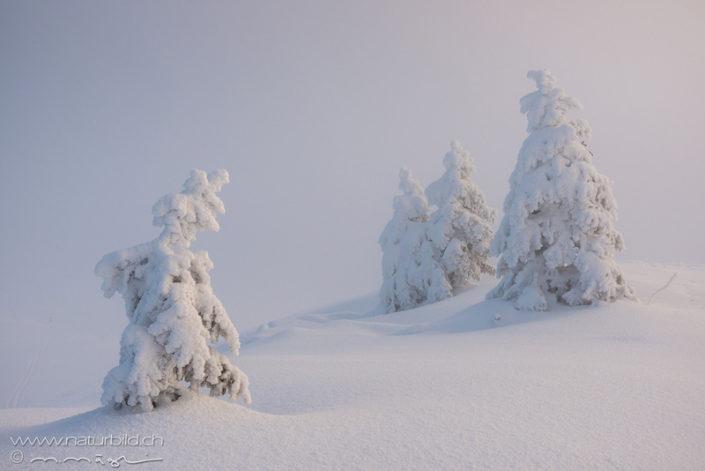 Chasseron Nebel verschneite Tannen