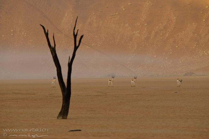 Namibia Deadvlei Impala