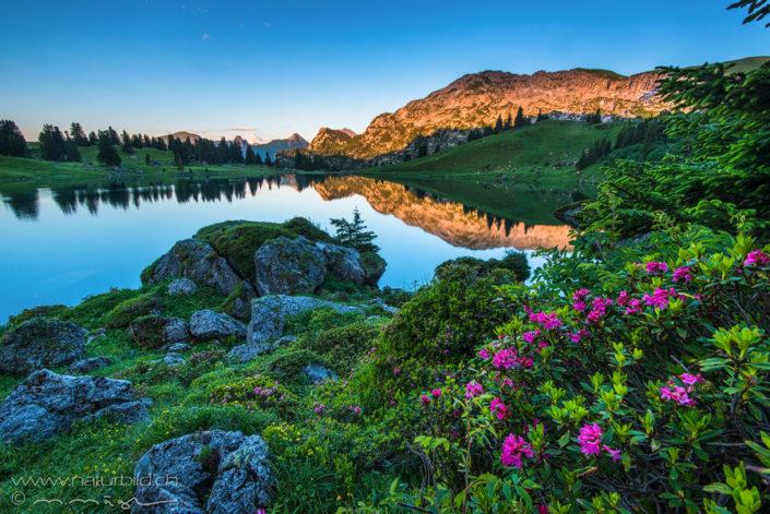 Seebergsee Alpenrosen Diemtigtal