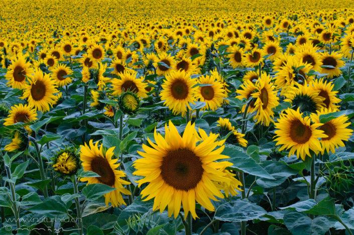Waadt Sonnenblumenfeld Sommer