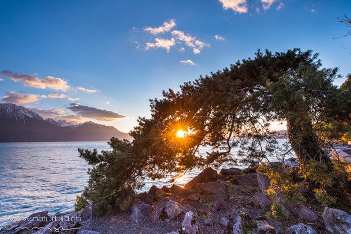 Genfersee Ufer Baum