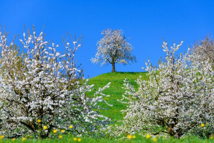 Fricktal Kirschblüte Aargau