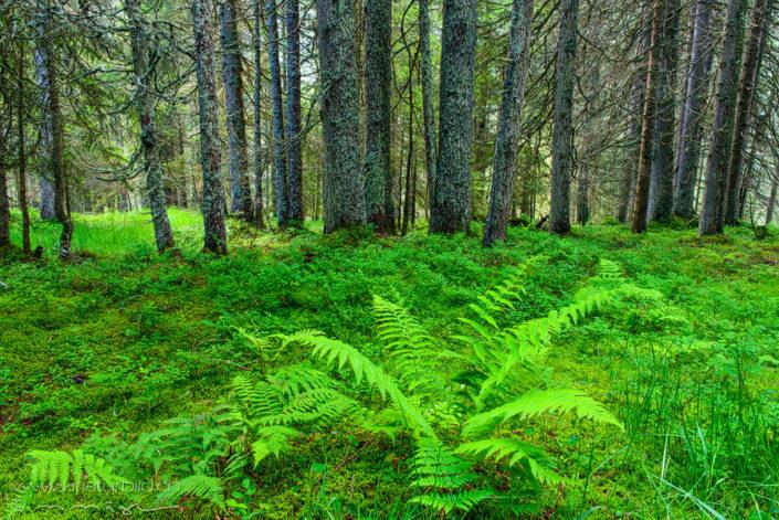 Glaubenberg Farn Wald