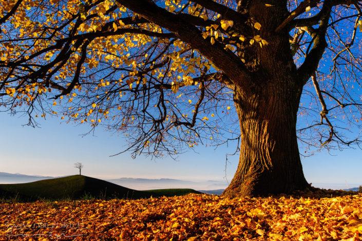 Baum einzeln Hügel