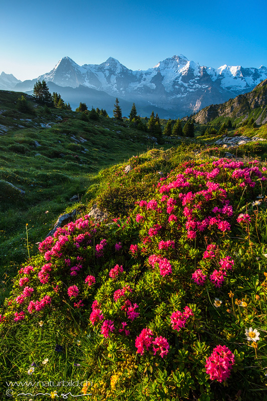 Alpenrosen Jungfrau Sous