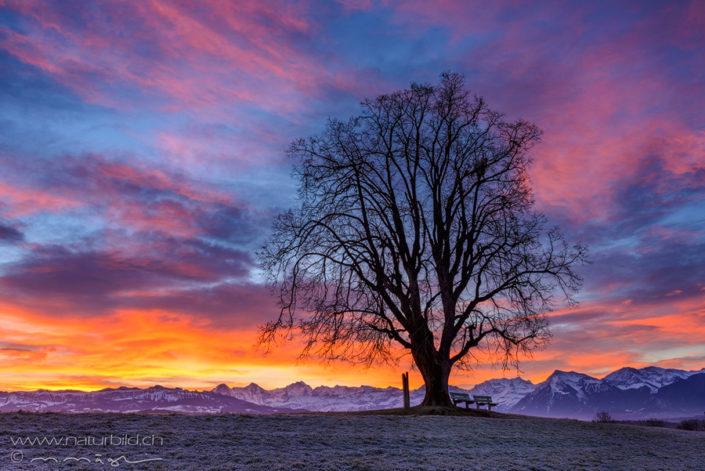 Gerzensee Baum Sonnenaufgang