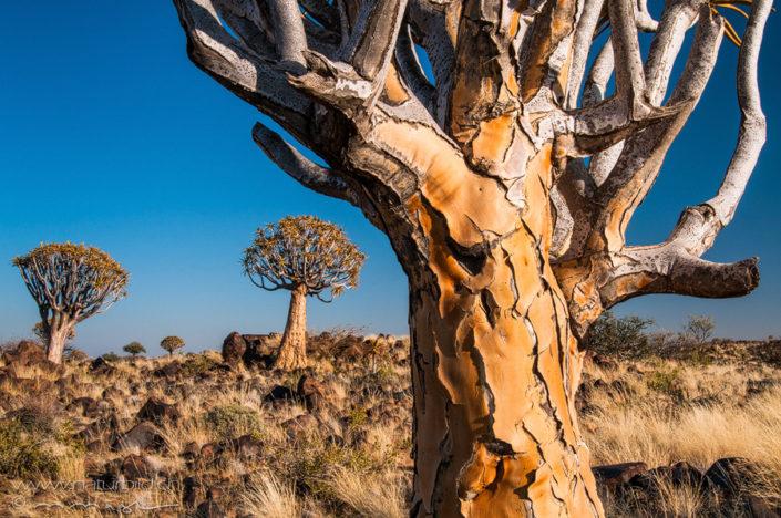 Afrika Koecherbaumwald Steppe