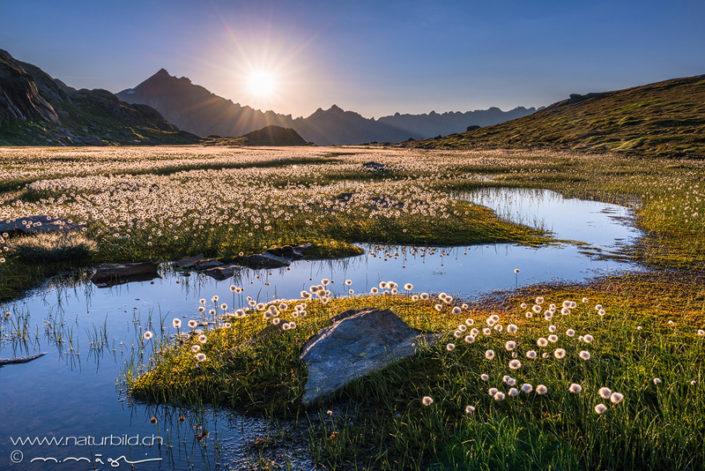 Laiozz Wollgras Moorlandschaft