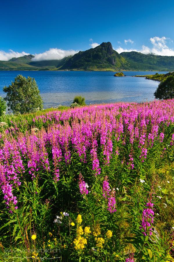 Lofoten Blumen See