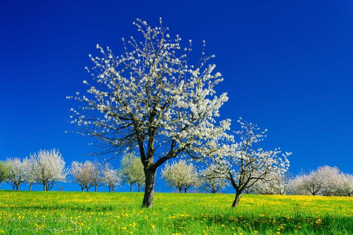 Magden Kirschblüte Aargau