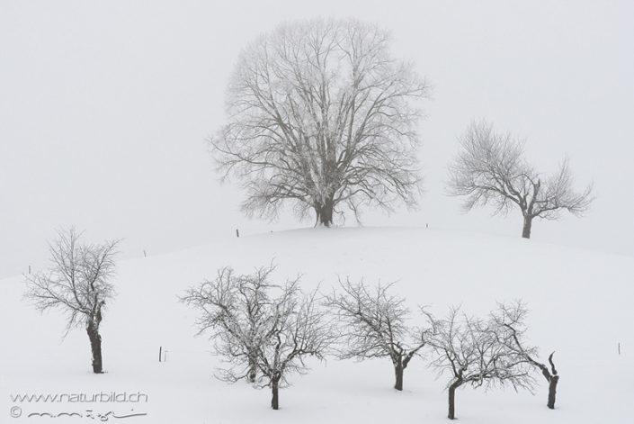 Menzingen Winter Baeume