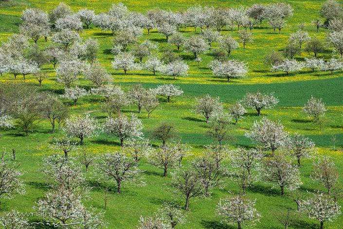 Nuglar Kirschbäume Kirschblüte