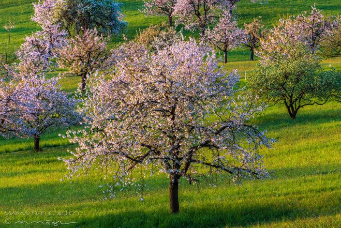 Kirschbaum Blüte Kirschblüte