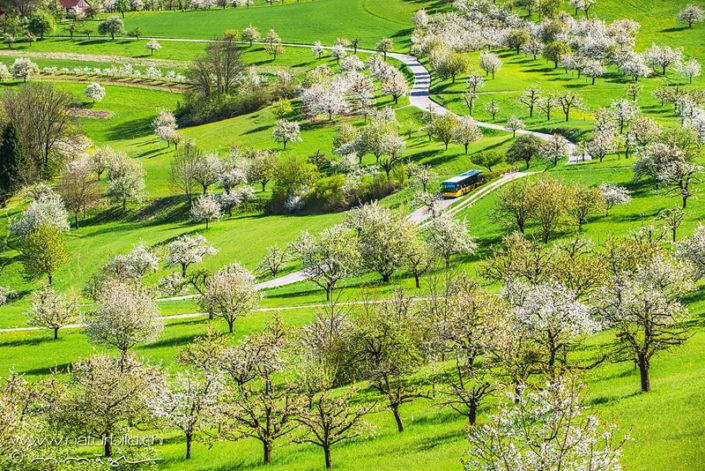 Nuglar Kirschbäume Postauto