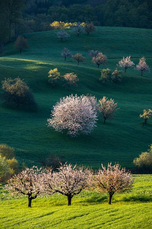 Ormalingen Kirschbaum Blüte