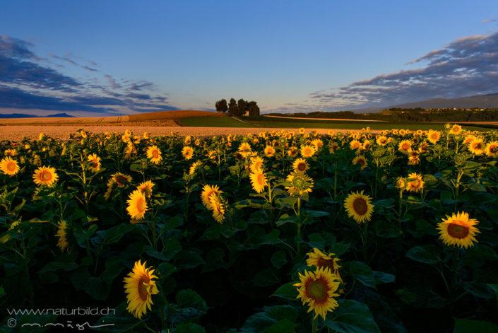 Waadt Penthaz Sonnenblumen