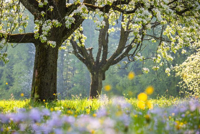 Frühling Luzern Kirschbau