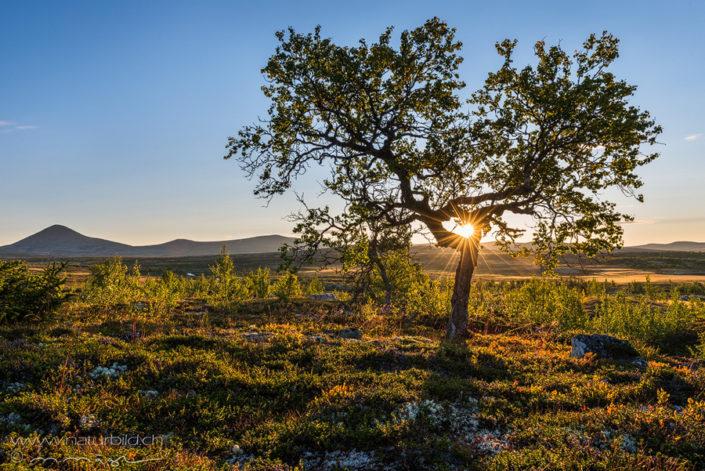 Rondane Baum Sonnenstrahlen