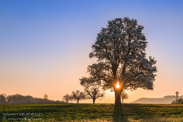 Birnbaum Rünenberg blühen