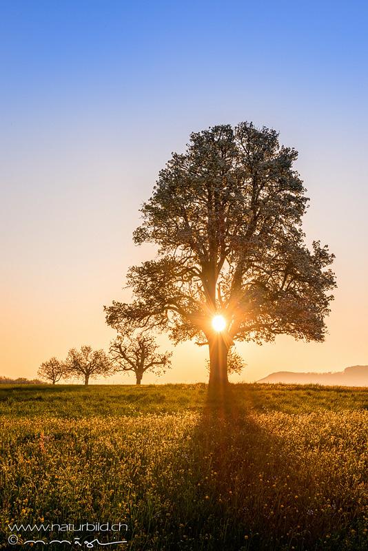 Birnbaum Rünenberg Sonnenaufgang