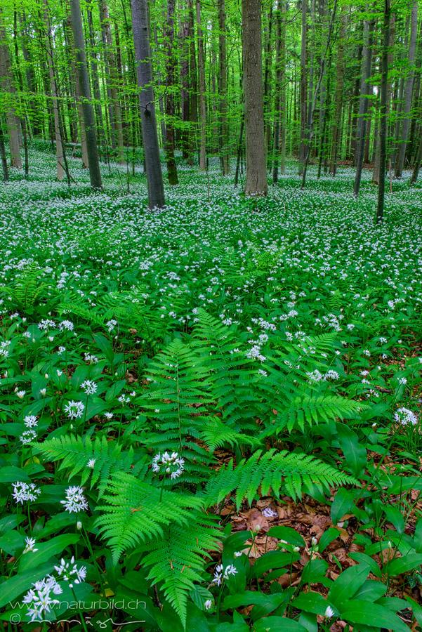 Sihlwald Farn Wald