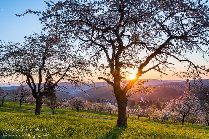 St Pantaleon Solothurn Kirschblüte