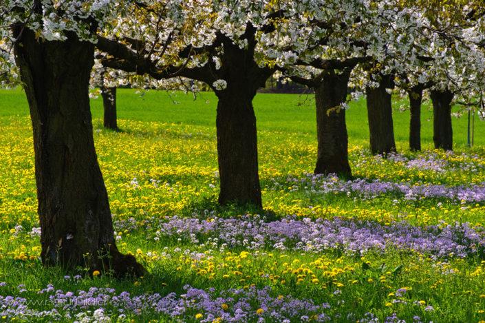 Kirschbaum Plantage Frühling