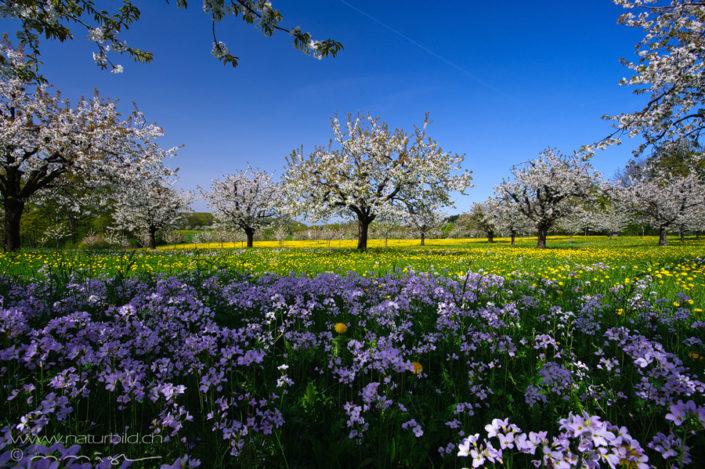 Gempen Solothurn Kirschbäume