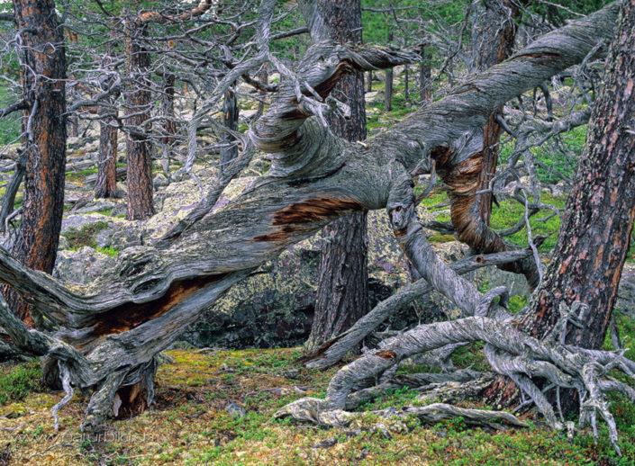 Stora Sjoefallet NP alte Baeume Wald
