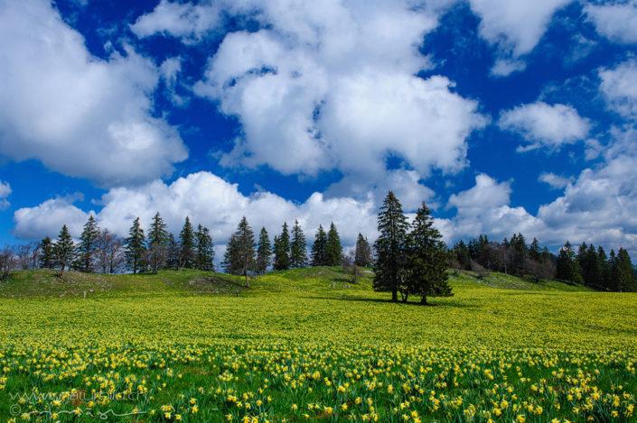Osterglocke Jura Vue des Alpes