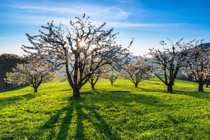 Wintersingen Basel Kirschblüte