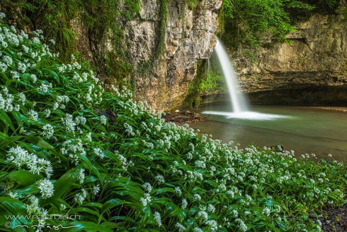 Wasserfall Bärlauch Giessen