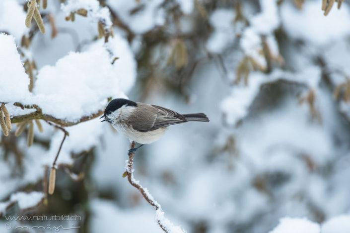 Vogel Winter Schwarzkopfmeise