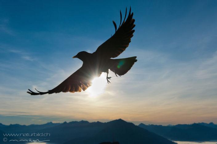 Alpendohle Vogel Sonnenuntergang
