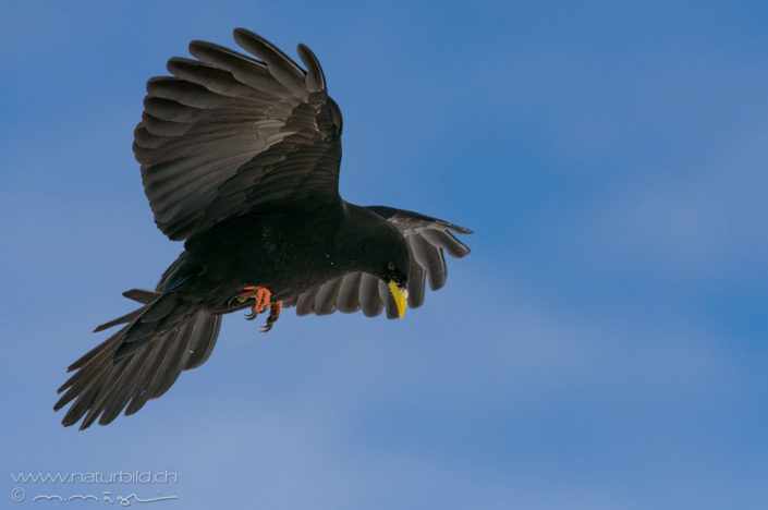 Alpendohle Voegel schwarz
