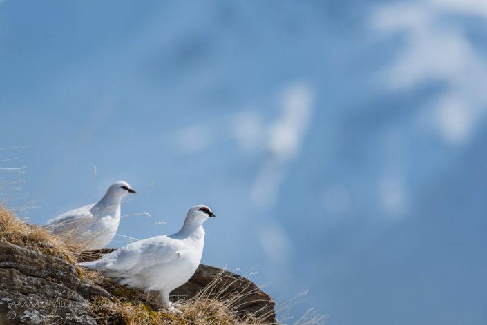 Alpenschneehuhn Nahaufnahme Vogel