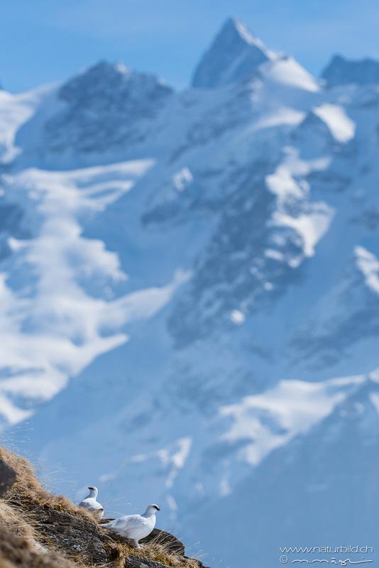 Alpenschneehuhn Berge Voegel