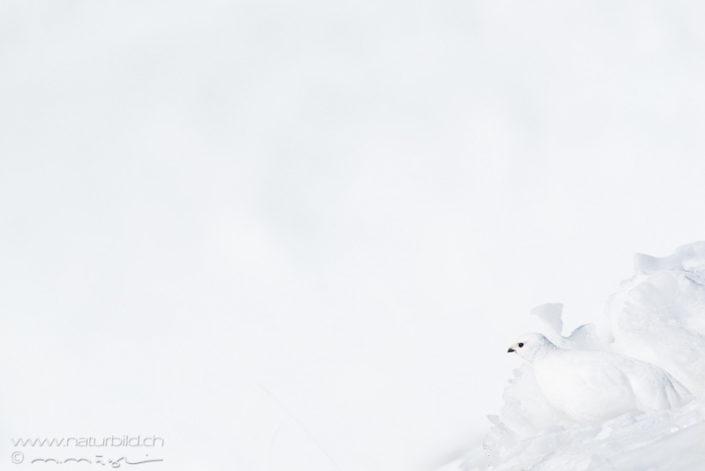 Alpenschneehuhn Schnee getarnt