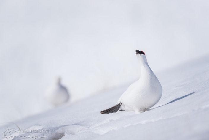 Alpenschneehuhn Schnabel Hals