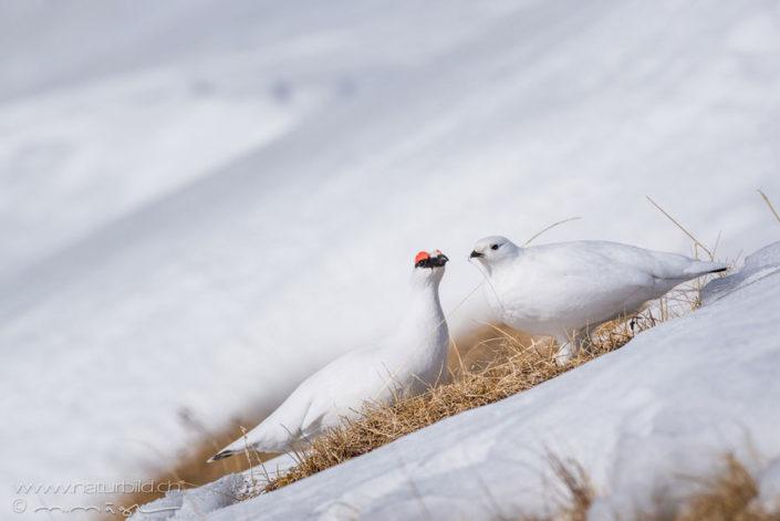 Alpenschneehuhn Paar Voegel