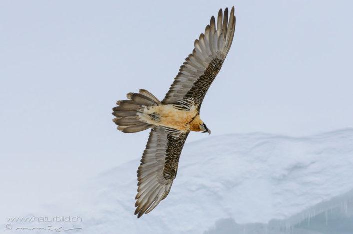 Bartgeier Voegel Fluegelspannweite
