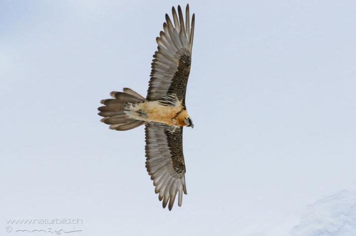 Bartgeier Fluegel Spannweite