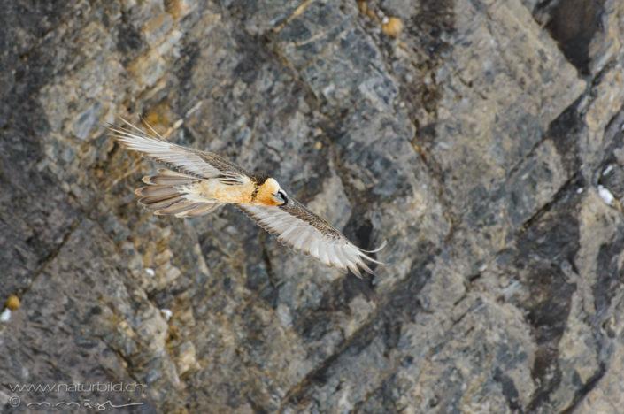 Bartgeier Flug Vogel