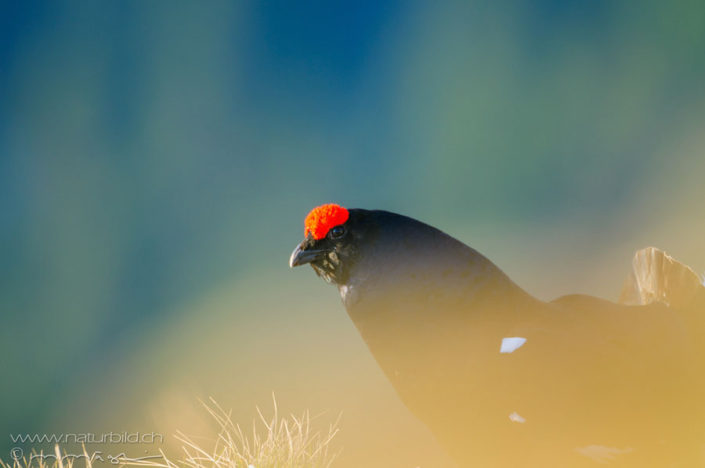 Birkhahn Voegel rot/schwarz